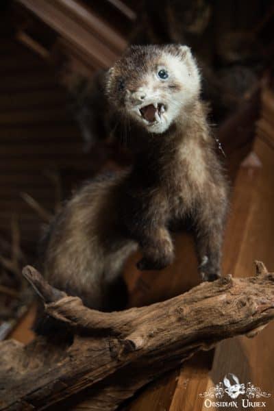 Hunters Hotel Jagerhotel Germany Ferret Polecat